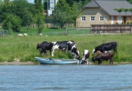 Koeien in het water tijden een boottocht in de IJssel, vanaf de Veerman van Kampen